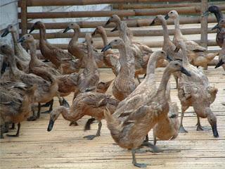 Beternak bebek Secara Intensif Akan Menjanjikan
