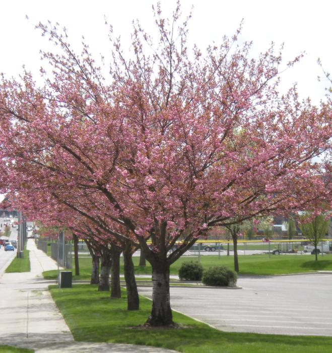 Flowering Cherries