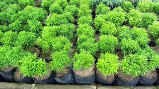 bibit-tanaman-hias-brokoli.jpg