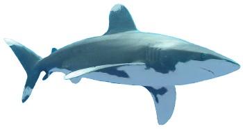 Tubarão Oceânico | Características Gerais do Tubarão Oceânico (Carcharhinus longimanus)