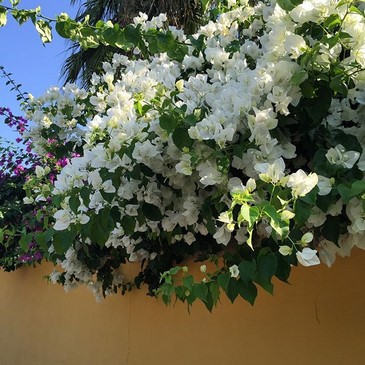 Bougainvillea glabra 'Snow White'