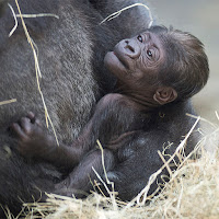 Baby lowland gorillas in the Smokies