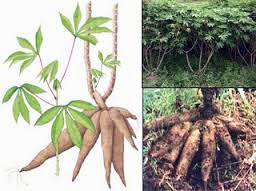 http://indonesian-herbal-medicine.blogspot.com/2014/12/cassava-for-herbal-healer.html