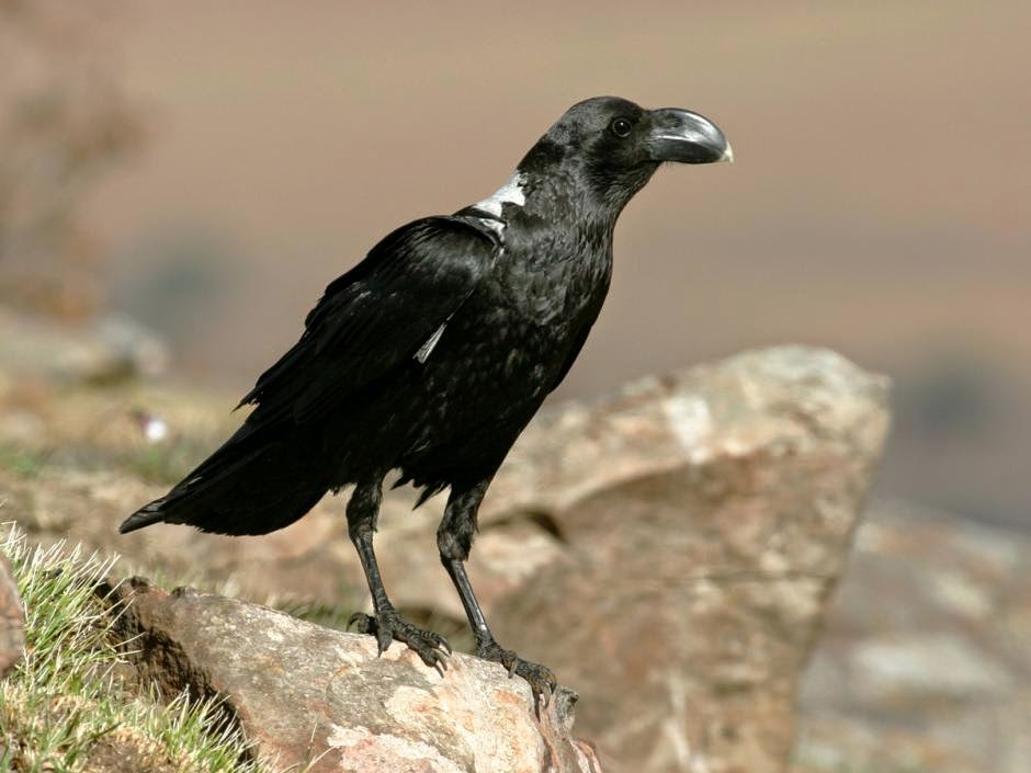 african crows