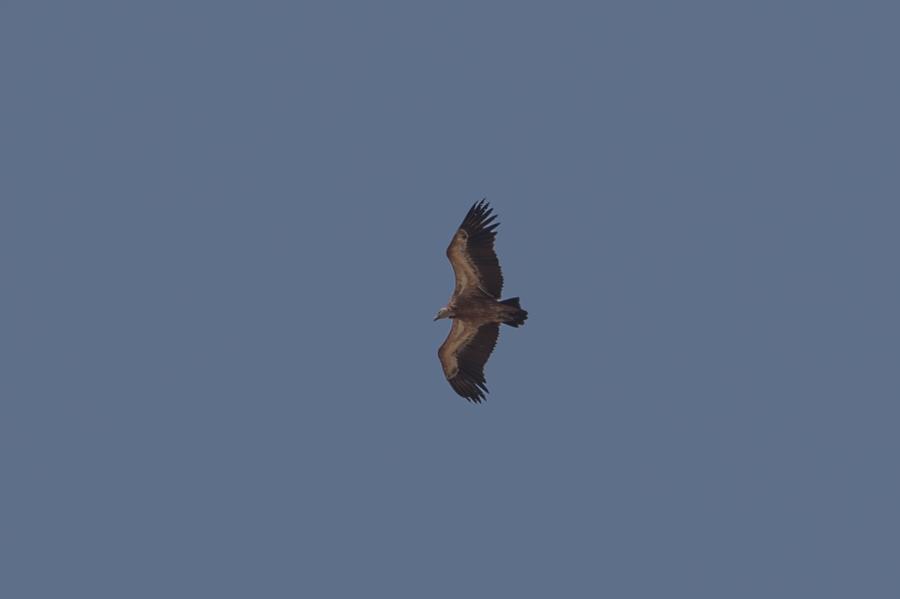 Migrating Eurasian Griffon Vulture - Tanoumah