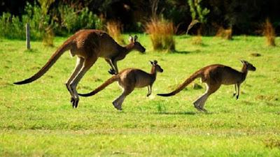 Kanguru atau Kangaroo hewan khas Australia - berbagaireviews.com