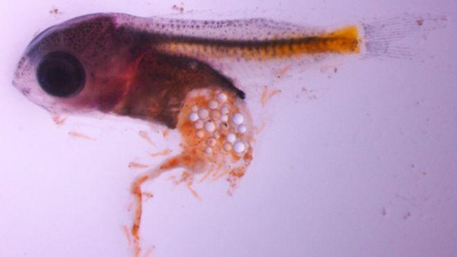 Filhote de peixe donzela que ingeriu microplásticos. Crédito: Oona Lonnstedt