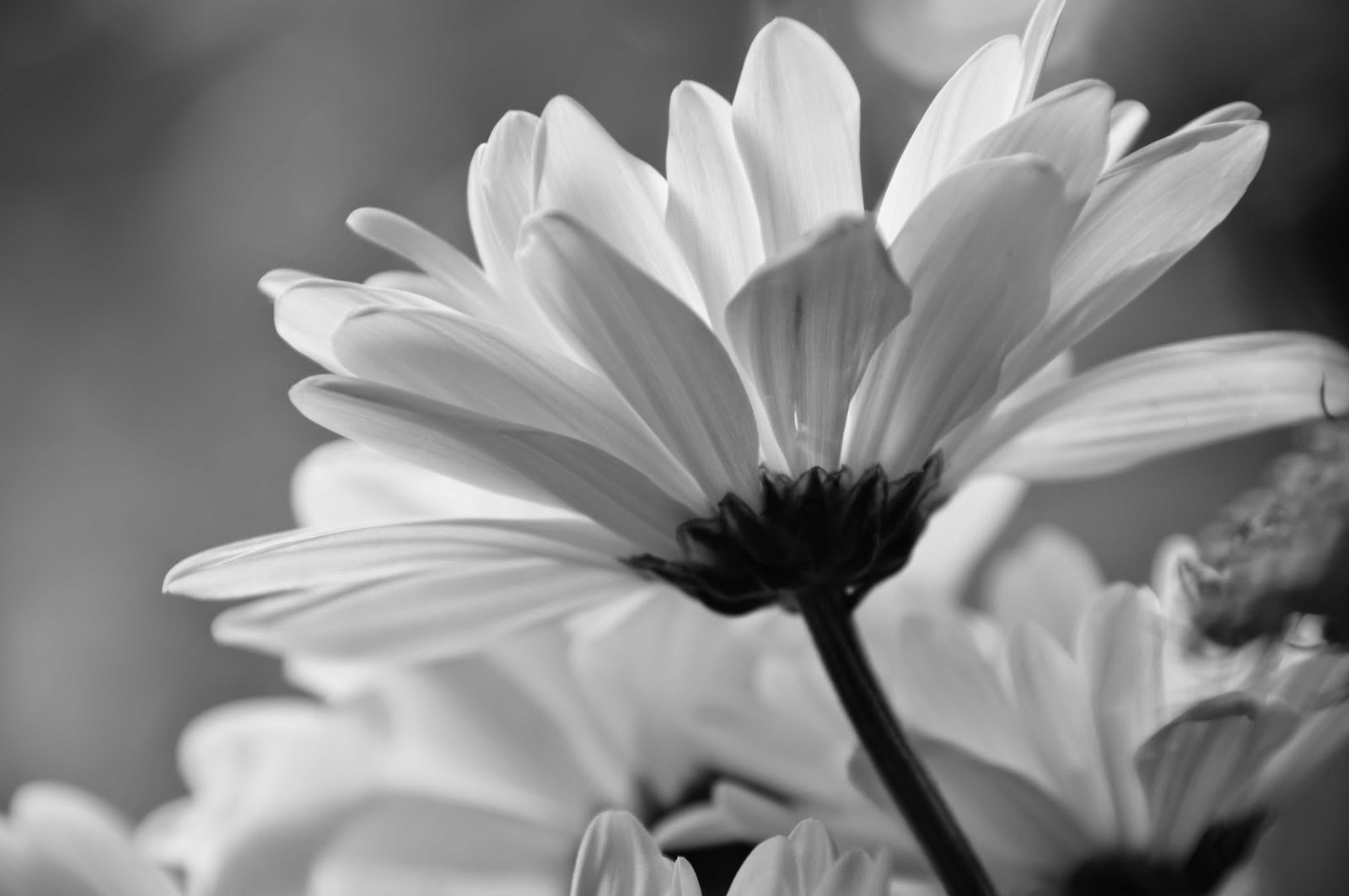 Black And White Daisy Wallpaper Images Hd Wallpapers