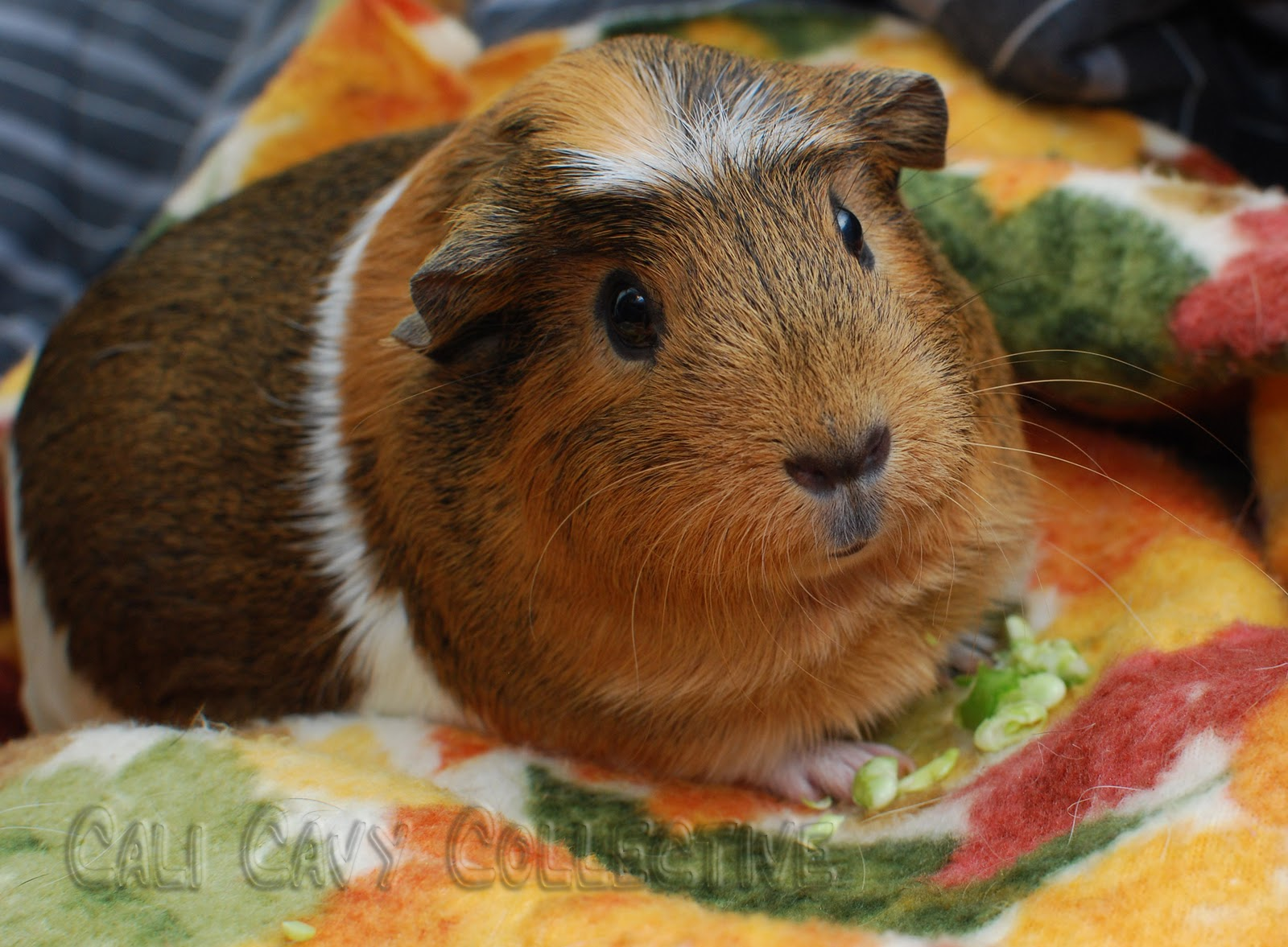 Crested guinea pig - photo#36