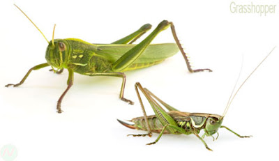 Grasshopper, Grasshopper insect,ঘাসফড়িং, গঙ্গাফড়িং