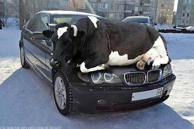 Kuh liegt auf parkendem Auto witzig