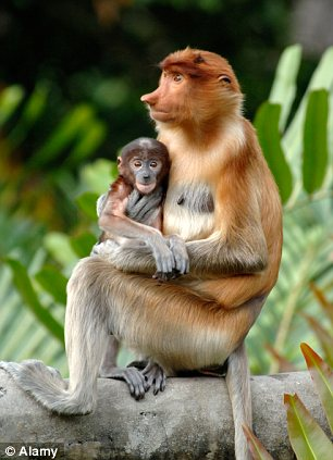 Fakta menarik tentang Monyet Belalai atau Bekantan Yang Seru Untuk Dibaca