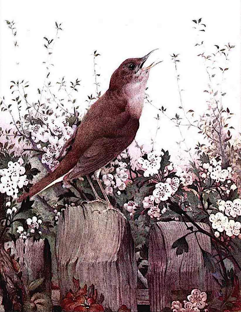 Edward J. Detmold, sing bird on a wooden fence, color