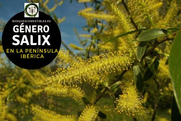 Lista de especies del Género Salix, Sauce, Familia Salicaceae en la Península Ibérica.