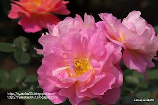 ピンクの薔薇写真