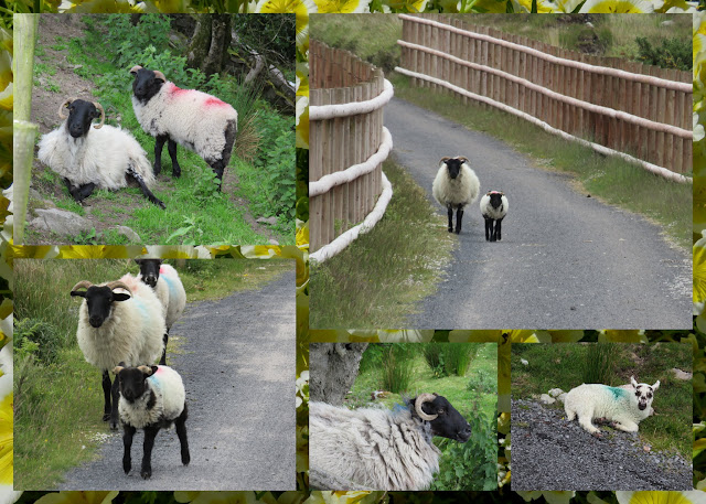 Cycling the Great Western Greenway - County Mayo, Ireland - Sheep