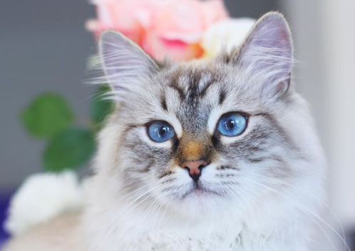 Siberian Cat with Blue eyes