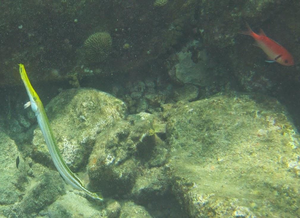 Soortenjager: Soortenjagen in Curaçao (Deel 3: vissen in ...  Tarpon