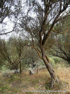 El bosque de Acebuches