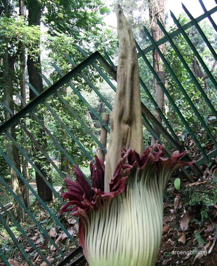 bunga bangkai kebun raya bogor