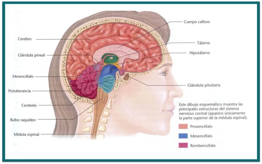 Anatomia y Fisiologia del Sistema Nervioso: abril 2012
