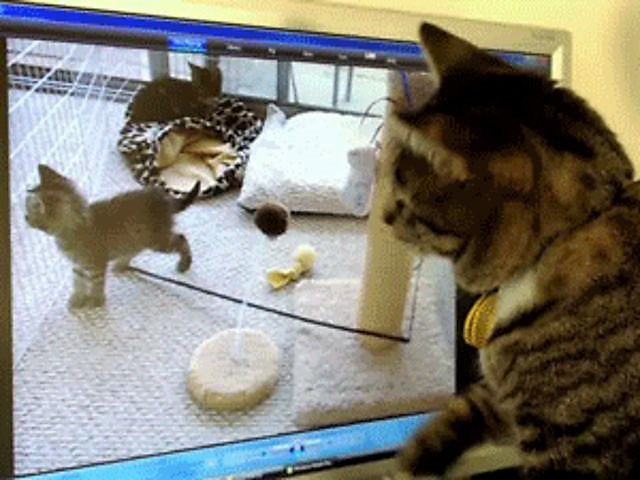 Cat confused after kittens dissapear from monitor screen