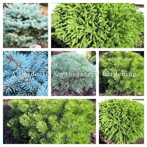 A Guide To Northeastern Gardening Dwarf Globe Conifers In The