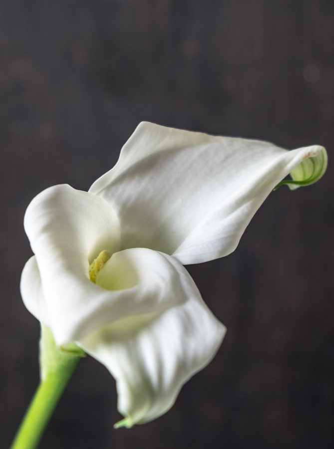 White Calla Flower by Frauke