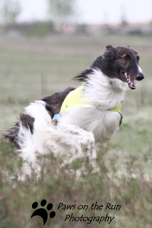 The Dog In World Borzoi Dog