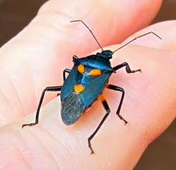 The Nature In Us: Not All Beetles Are Bad: Beneficial Garden