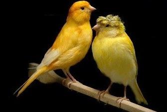 5 Ciri Ciri Burung Kenari Kalitan Dari Segi Fisik