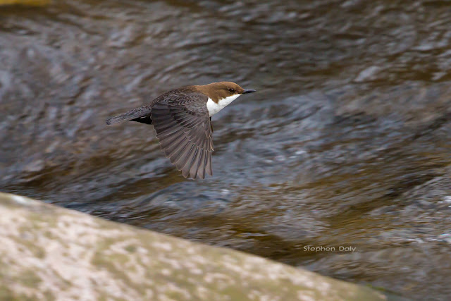 White-throated Dipper (Cinclus cinclus) in Germany