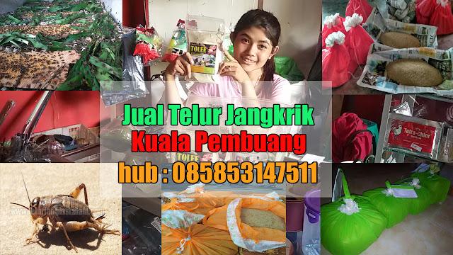 Jual Telur Jangkrik Kuala Pembuang Hubungi 085853147511