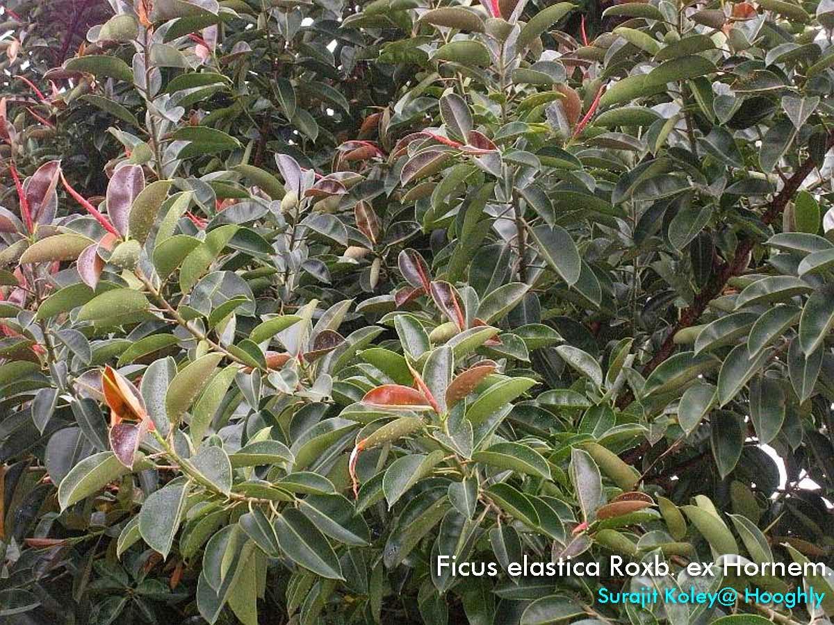 Medicinal Plants Ficus Elastica Rubber Tree Figuier