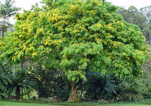 gambar pohon kayu angsana tua