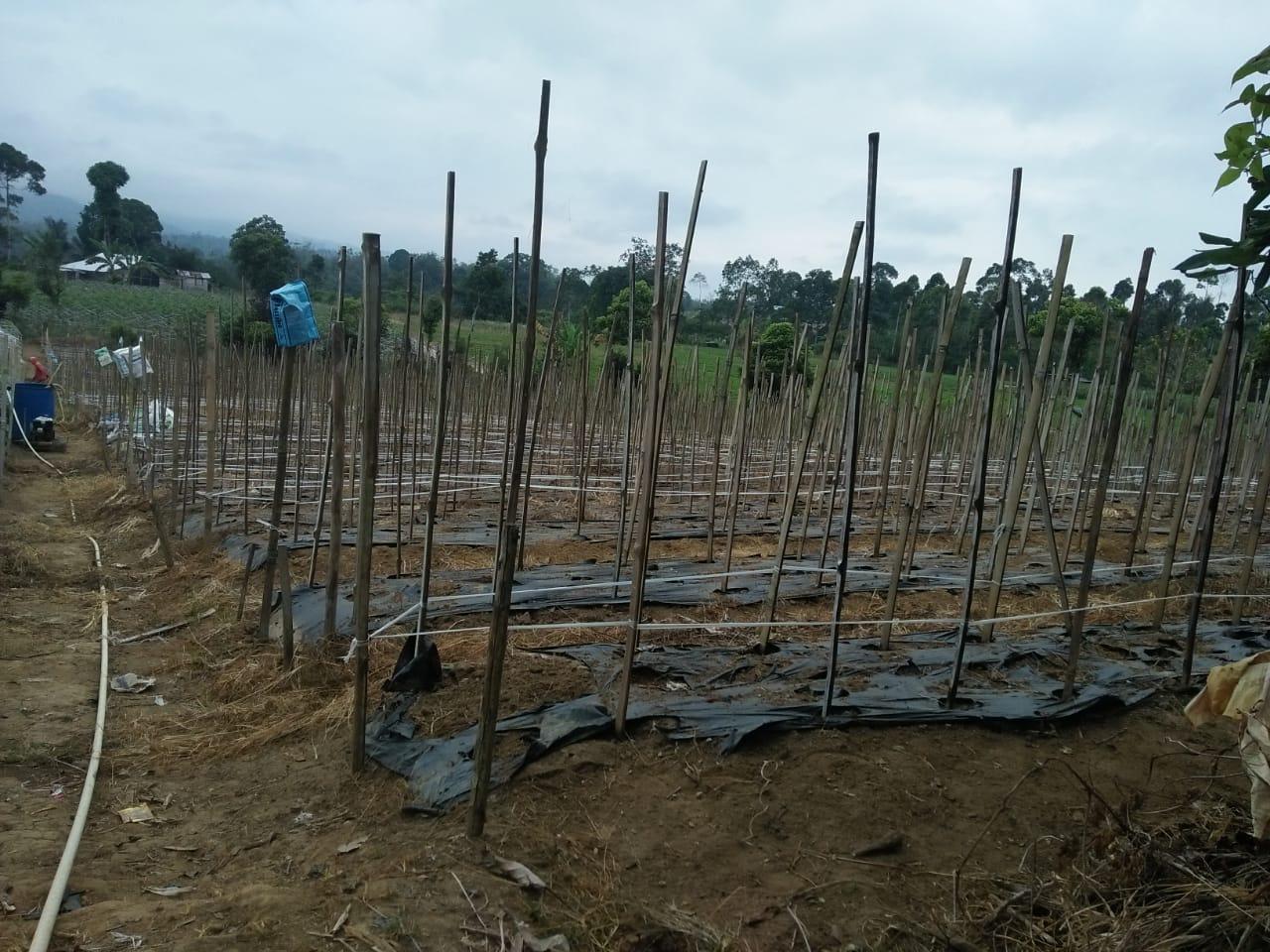 Info Pertanian Musim Kemarau Tiba Petani Sayuran Di Lambar Masuki