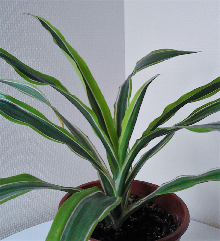 La ventana de javiruli plantas de interior 35 dracena - Plantas bonitas de interior ...