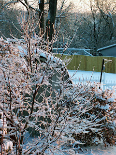 Thick ice on Japanese maple branches