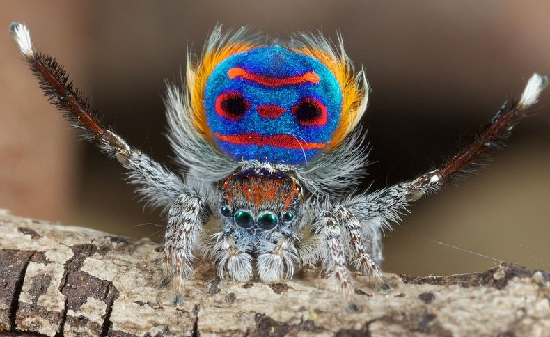 12 Mysterious But Beautiful Creatures You've Probably Never Seen - PEACOCK SPIDER