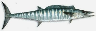 Sakaw Mancing Jenis Ikan Mackerel Tenggiri