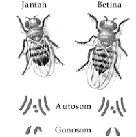 Henking menemukan struktur inti tertentu yang dapat dilacak selama  Kromosom Kelamin