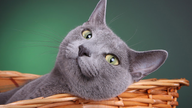 Grijze kat in een mand