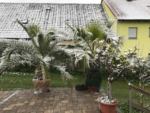 Palmen im Schnee (c) by Joachim Wenk