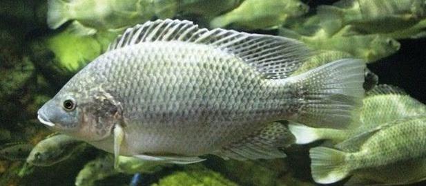 Cara Budidaya Ikan Mujair Sirakus Pemakan Segala