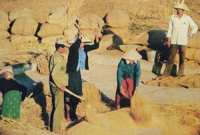 Foto Petani Laos sedang memisahkan biji gandum