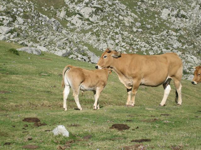 Rutas Montaña Asturias: Ganado en la Vega de Candioches en la ruta a Peña Ubiña