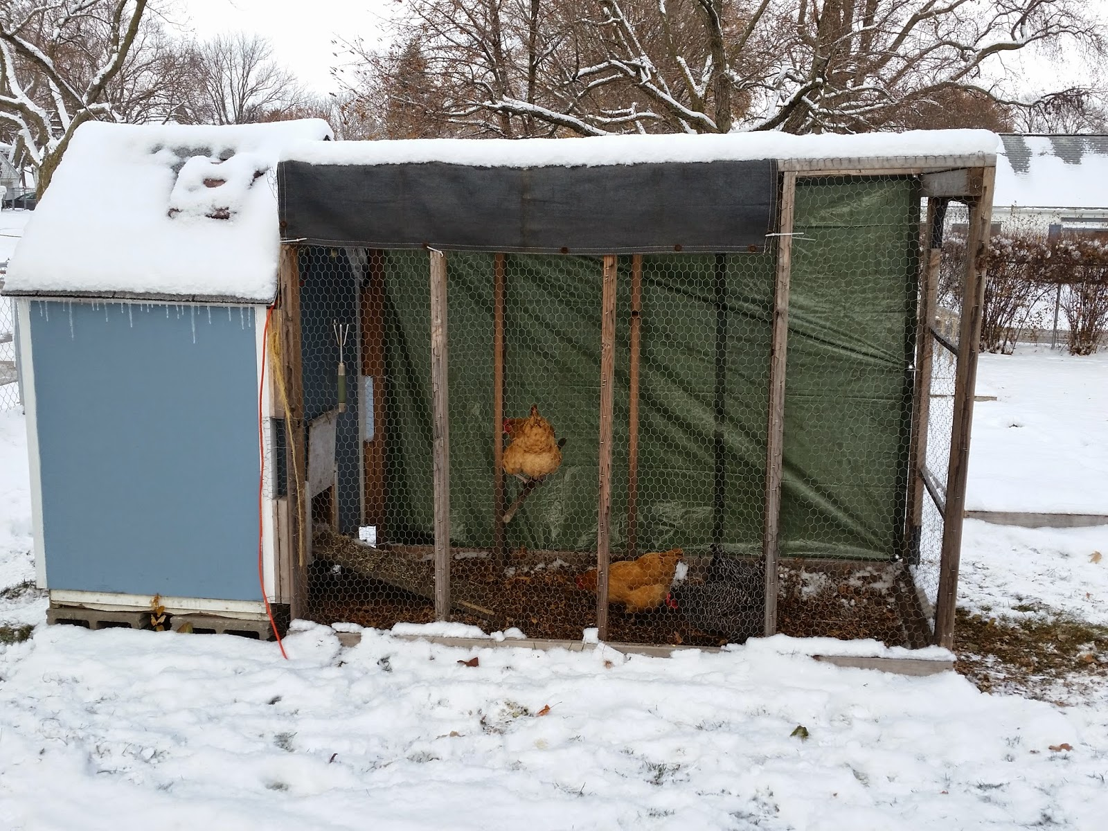 5 ways to feed chickens on a budget - Homegrown in the Valley