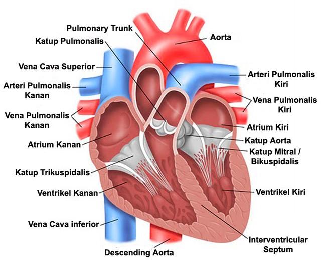 Pengertian Letak dan Struktur dari Jantung  Bagi Bagi