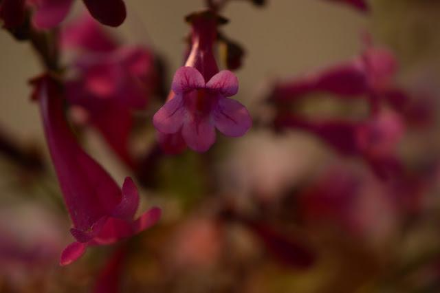 monday vase meme, small sunny garden, amy myers, desert garden, penstemon, parryi, desert penstemon