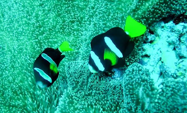 Submarinismo Dhiffushi Maldivas